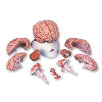 Mô Hình Giải Phẫu Não 9 Phần